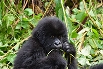A baby gorilla feeding on tree leaves in Bwindi Impenetrable national park