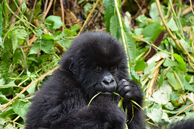 A baby Gorilla feeding in Bwindi Impenetrable National Park, Uganda