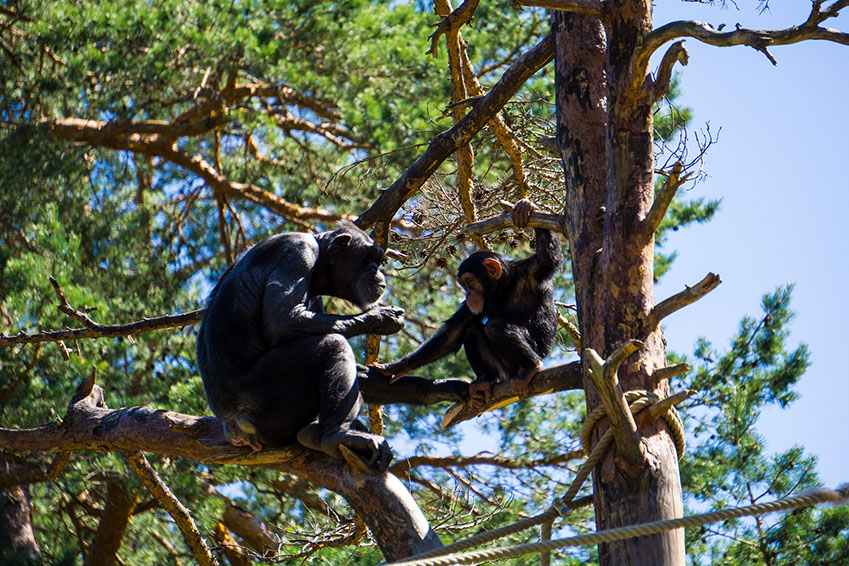 Chimpanzees are omnivorous animals and their diet mainly comprises of fruits, flowers, seeds and termites