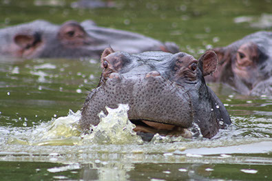 Hippos in water at Ndere Island National Park in Kenya