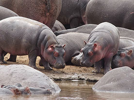 Many hippos at the shores of lake katavi in katavi national park, tanzania