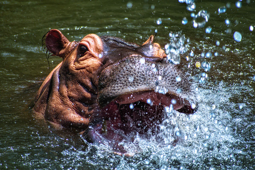 A Hippos in african waters