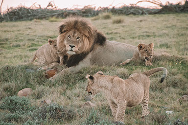 A Lion and cubs playing in Hwange National Park, Zimbabwe