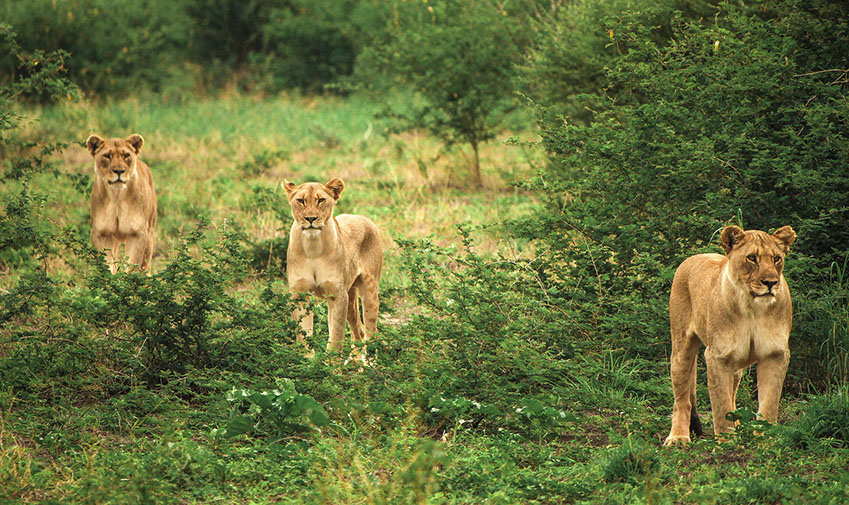 Three African Lions hunting in the grasslands