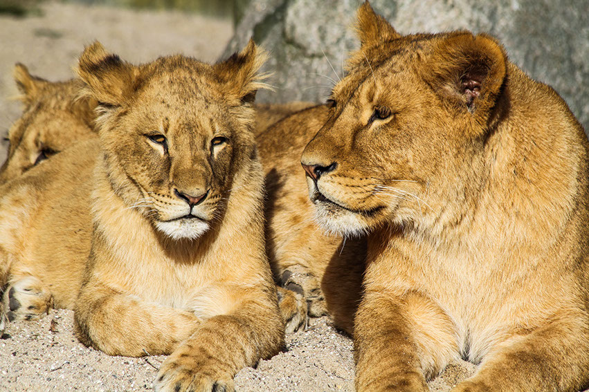 African Lions resting