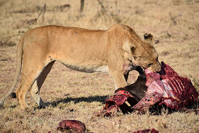 A lion feeding on prey in queen elizabeth national park, uganda