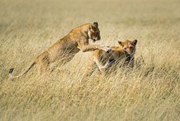 Lions cubs playing at Maasai Mara national reserve, Kenya