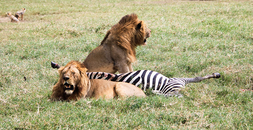 Two African Lions feeding on a zebras