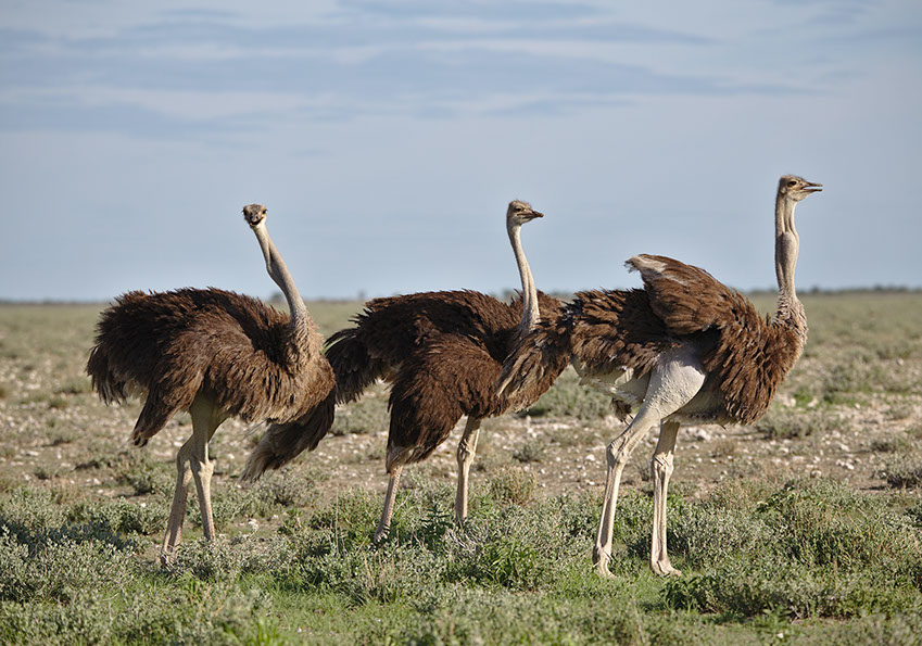 Ostriches mainly feed on seeds, grass, fruits, flowers and occasionally insects