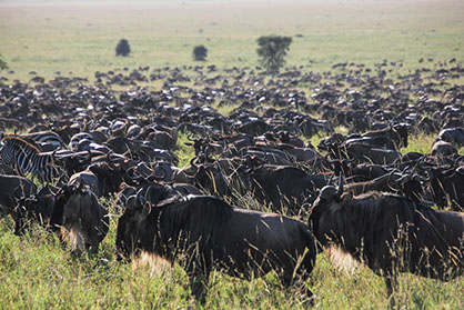the incredible wildebeest match in the serengeti national park grasslands, tanzania