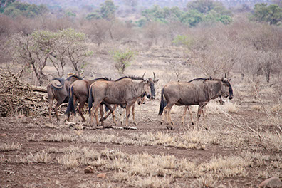 A Herd of Wildebeests at Mikumi national park feeding