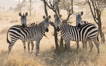 Zebras in the grass lands of Lake Mburo National Park, Uganda