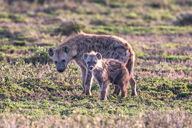 Beautiful Image of a hyena and a cub at Ruma national park in Kenya