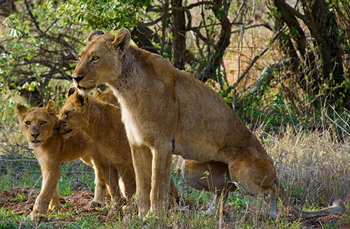 An image of a lionese and two lion cubs at Hell's Gate National Park in kenya