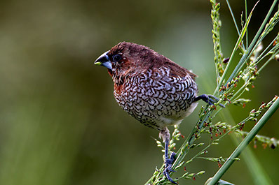An Image of a bird on a grass branch at Meru National park in Kenya