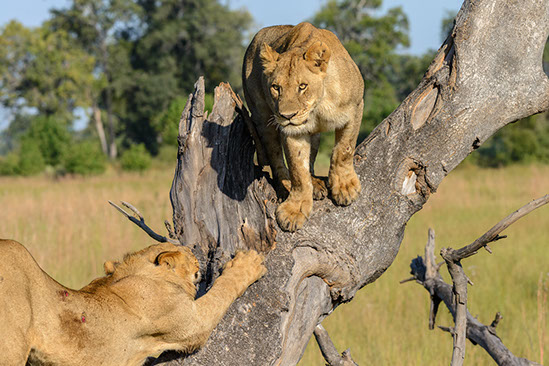 An image of lions playing on a tree in Kgalagadi Transfrontier national Park, South Africa