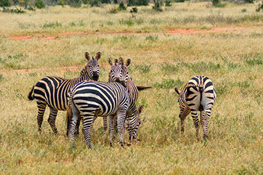 a group of zebras feeding in the grass lands in Arusha National Park