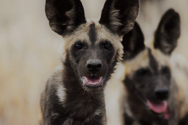 The African Wild Dog only lives in Africa and are found mainly in the East, Central and Southern parts of Africa
