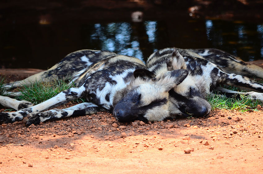 African Wild Dogs are only carnivores, hunting mainly Kudu, impala, bush bucks and wildebeests