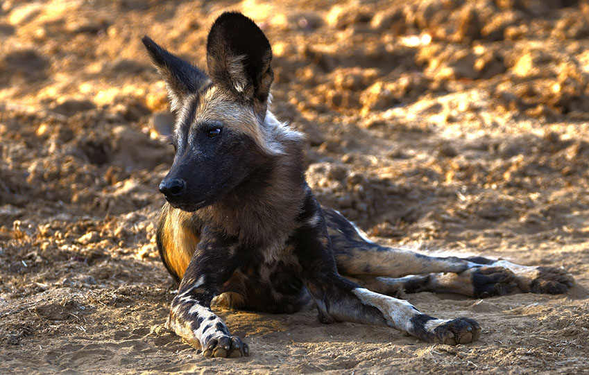 African Wild Dogs are highly social animals and have high teamwork during hunting