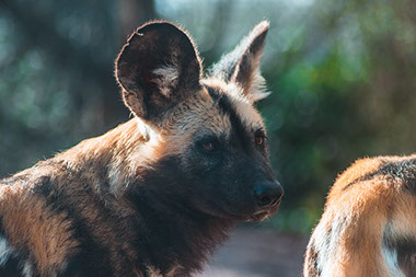 African Wild Dogs are only found in Africa in the entire world