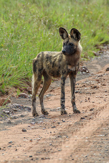 African Wild Dogs are also called Painted Dogs/Wolfs and have satellite dish like ears