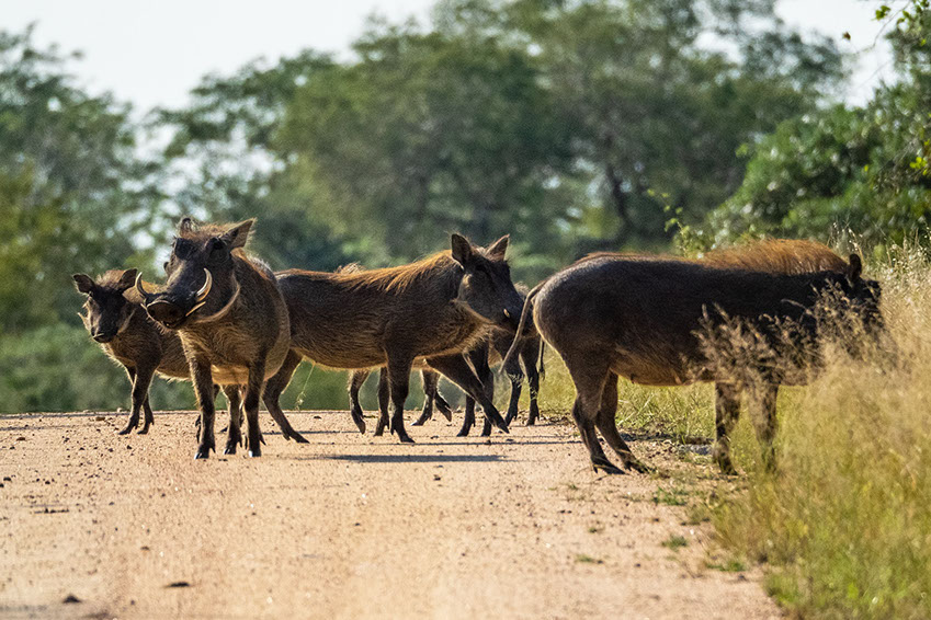 A group of warthogs in the African Savannah