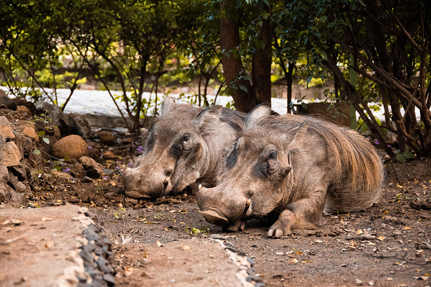 Two warthogs resting under an African sub-saharan vegetation