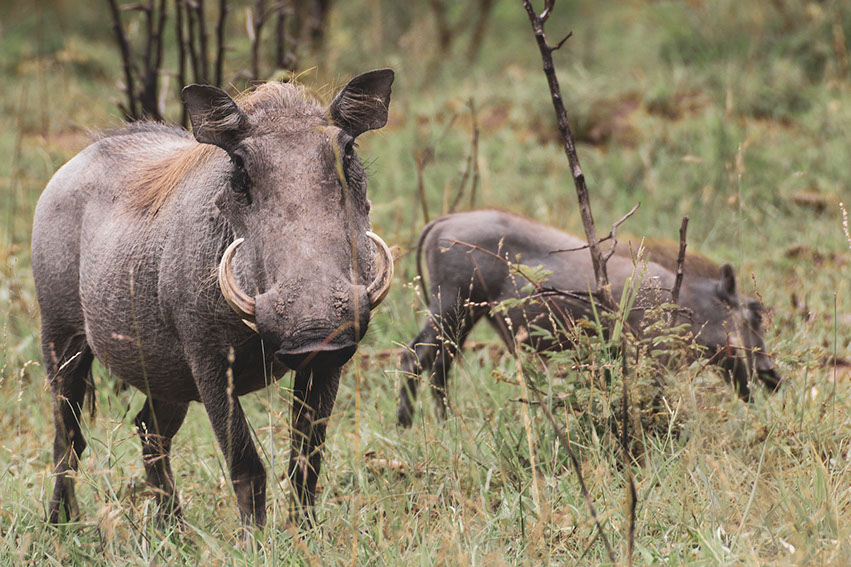 Image of a Warthog in the African Wild