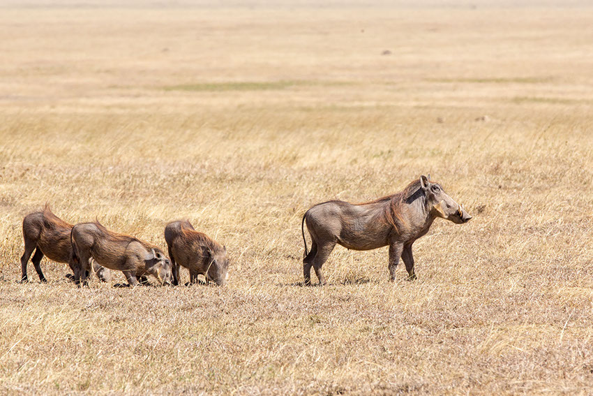 A group of Warthogs feeding on grass in the African Sub-Sahara